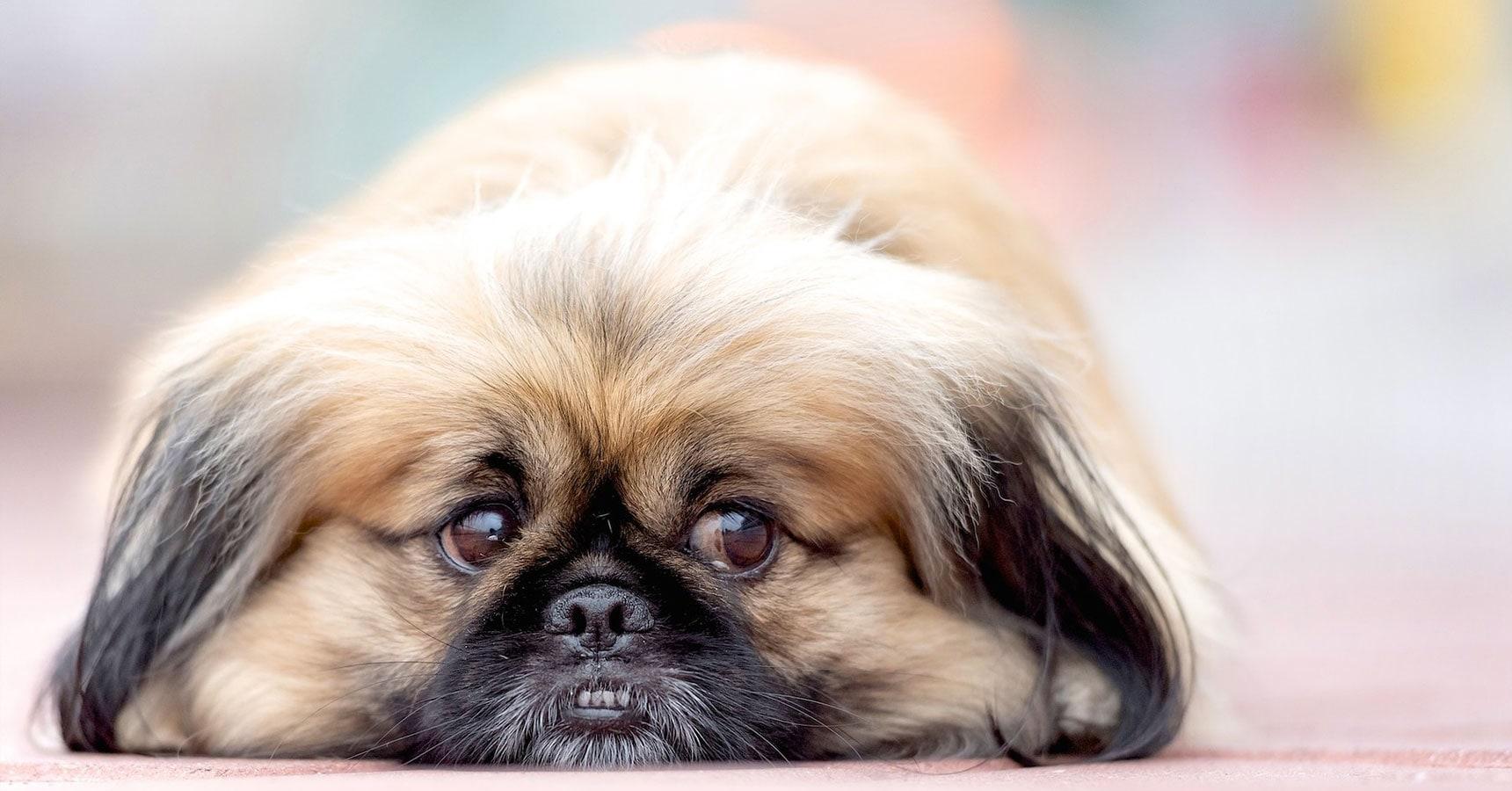 Cão Pequinês