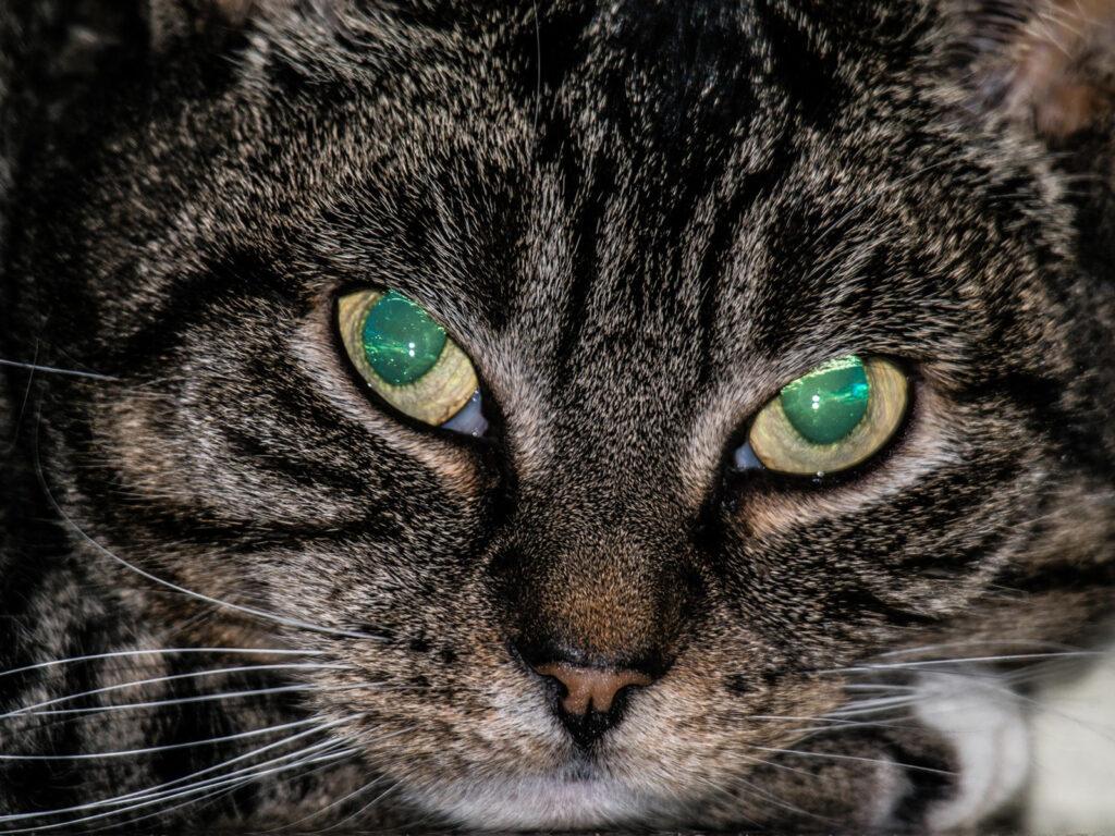 O tampetum da visão do gato