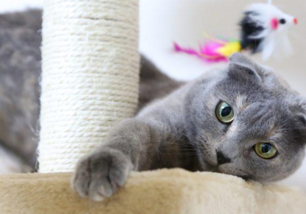 gato-scotish-fold-1